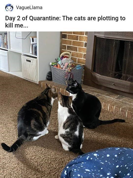 vaguellama day 2 of quarantine the cats are plotting to kill me pic of three cats congregating sitting in a circle conspiring
