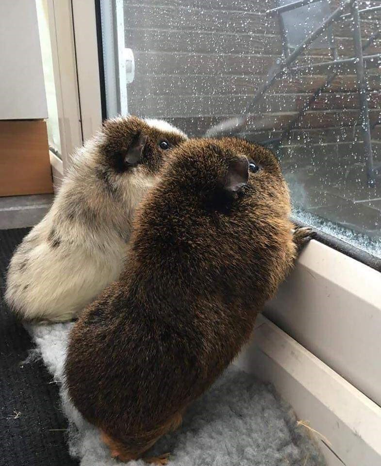two very fuzzy furry chonky guinea pigs looking out of a window at the rain outside