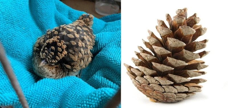 side by side comparison pics of a small brown bird and a pine cone that look very similar to one another