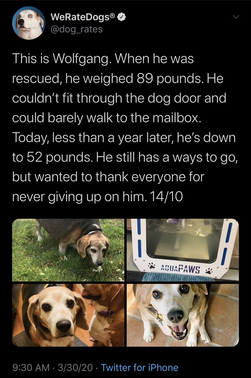 Dog - WeRateDogs® O @dog_rates This is Wolfgang. When he was rescued, he weighed 89 pounds. He couldn't fit through the dog door and could barely walk to the mailbox. Today, less than a year later, he's down to 52 pounds. He still has a ways to go, but wanted to thank everyone for never giving up on him. 14/10 AQUAPAWS 9:30 AM · 3/30/20 · Twitter for iPhone