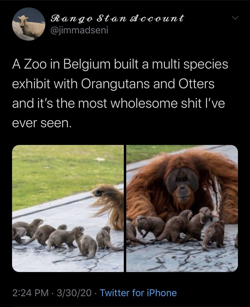 Organism - Rango Stan Account @jimmadseni A Zoo in Belgium built a multi species exhibit with Orangutans and Otters and it's the most wholesome shit l've ever seen. 2:24 PM · 3/30/20 · Twitter for iPhone