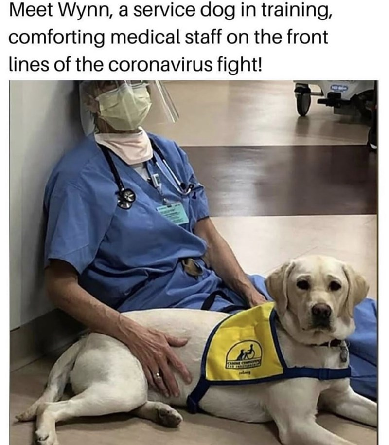 Dog - Meet Wynn, a service dog in training, comforting medical staff on the front lines of the coronavirus fight! CANME C t
