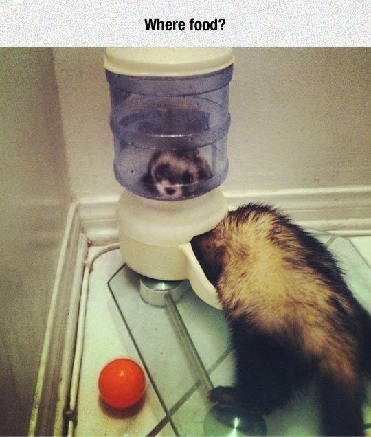 Ferret - Where food?