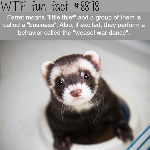 """Ferret - WTF fun fact #8878 Ferret means """"little thief"""" and a group of them is called a """"business"""". Also, if excited, they perform a behavior called the """"weasel war dance""""."""