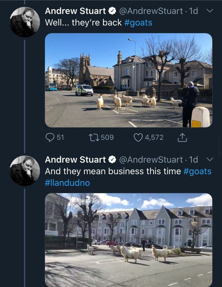 Product - Andrew Stuart O @AndrewStuart 1d v Well... they're back #goats 51 27 509 ♡ 4,572 Andrew Stuart O @AndrewStuart 1d And they mean business this time #goats #llandudno