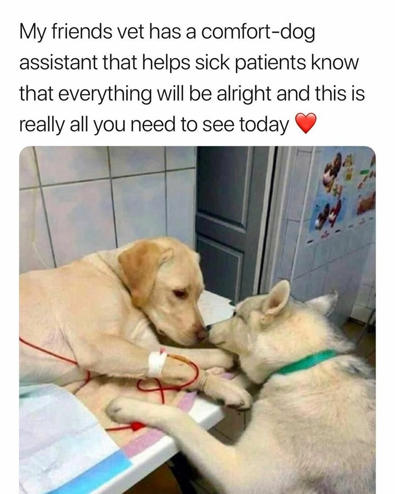 Dog - My friends vet has a comfort-dog assistant that helps sick patients know that everything will be alright and this is really all you need to see today