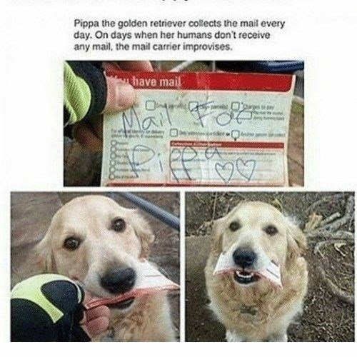 Dog - Pippa the golden retriever collects the mail every day. On days when her humans don't receive any mail, the mail carrier improvises. have mail Mail