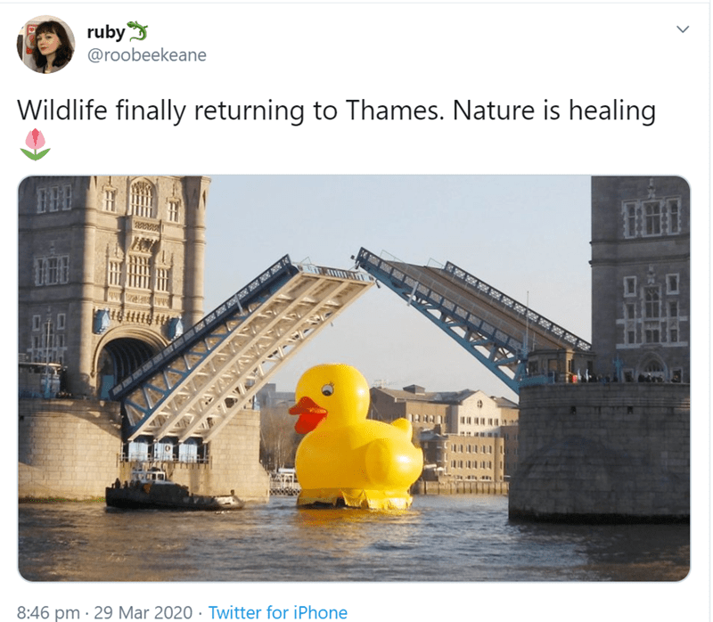 rubber ducky - ruby @roobeekeane Wildlife finally returning to Thames. Nature is healing AY 8:46 pm · 29 Mar 2020 · Twitter for iPhone