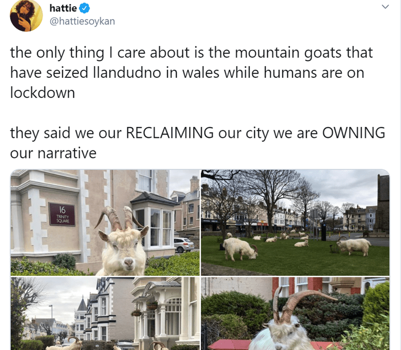 Property - hattie @hattiesoykan the only thing I care about is the mountain goats that have seized Illandudno in wales while humans are on lockdown they said we our RECLAIMING our city we are OWNING our narrative 16 TRINITY SQUARE