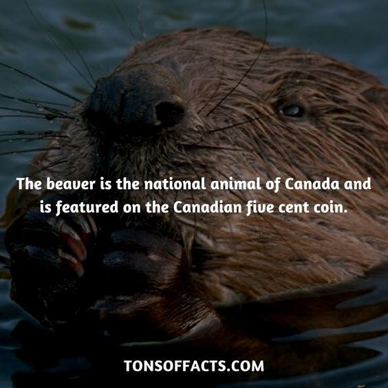 Otter - The beaver is the national animal of Canada and is featured on the Canadian five cent coin. TONSOFFACTS.COM