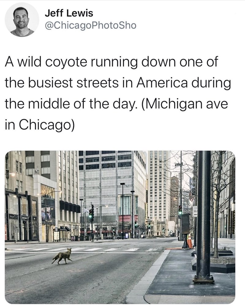 Text - Jeff Lewis @ChicagoPhotoSho A wild coyote running down one of the busiest streets in America during the middle of the day. (Michigan ave in Chicago)
