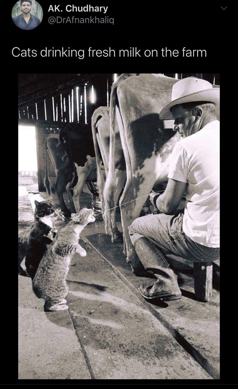 Photo caption - AK. Chudhary @DrAfnankhaliq Cats drinking fresh milk on the farm