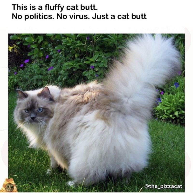Cat - This is a fluffy cat butt. No politics. No virus. Just a cat butt @the_pizzacat