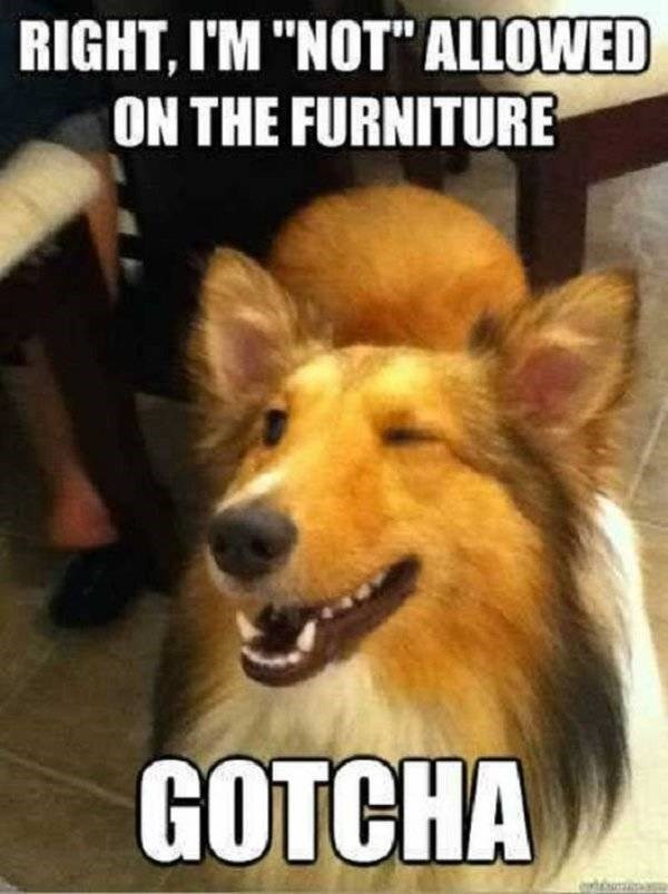 """Dog - RIGHT, I'M """"NOT"""" ALLOWED ON THE FURNITURE GOTCHA"""