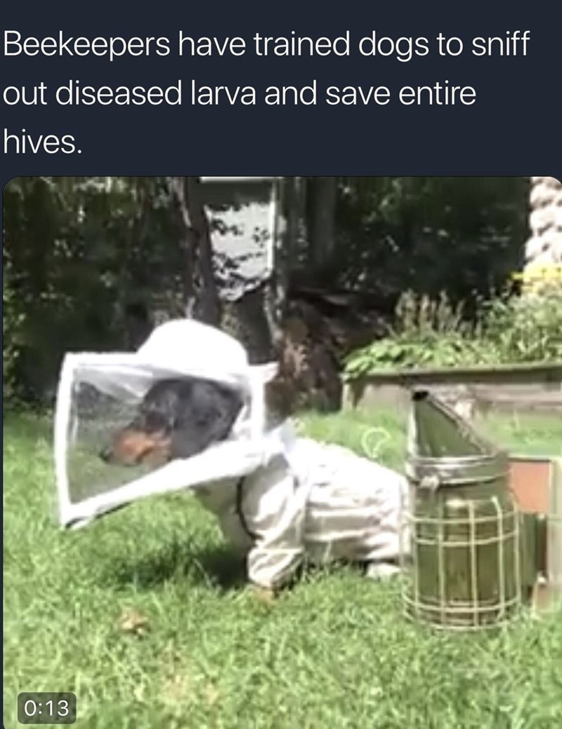 Beekeeper - Beekeepers have trained dogs to sniff out diseased larva and save entire hives. 0:13
