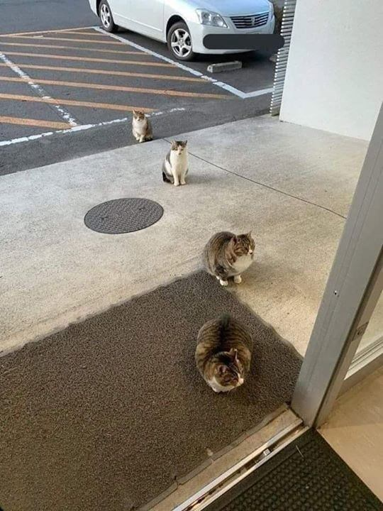 four cats sitting and standing in line at the entrance of a building social distancing coronavirus meme