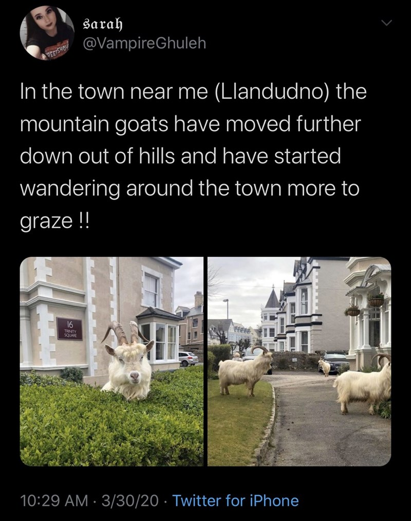 Text - sarah @VampireGhuleh MOHSIG In the town near me (Llandudno) the mountain goats have moved further down out of hills and have started wandering around the town more to graze !! 16 TRINITY SQUARE 10:29 AM · 3/30/20 · Twitter for iPhone