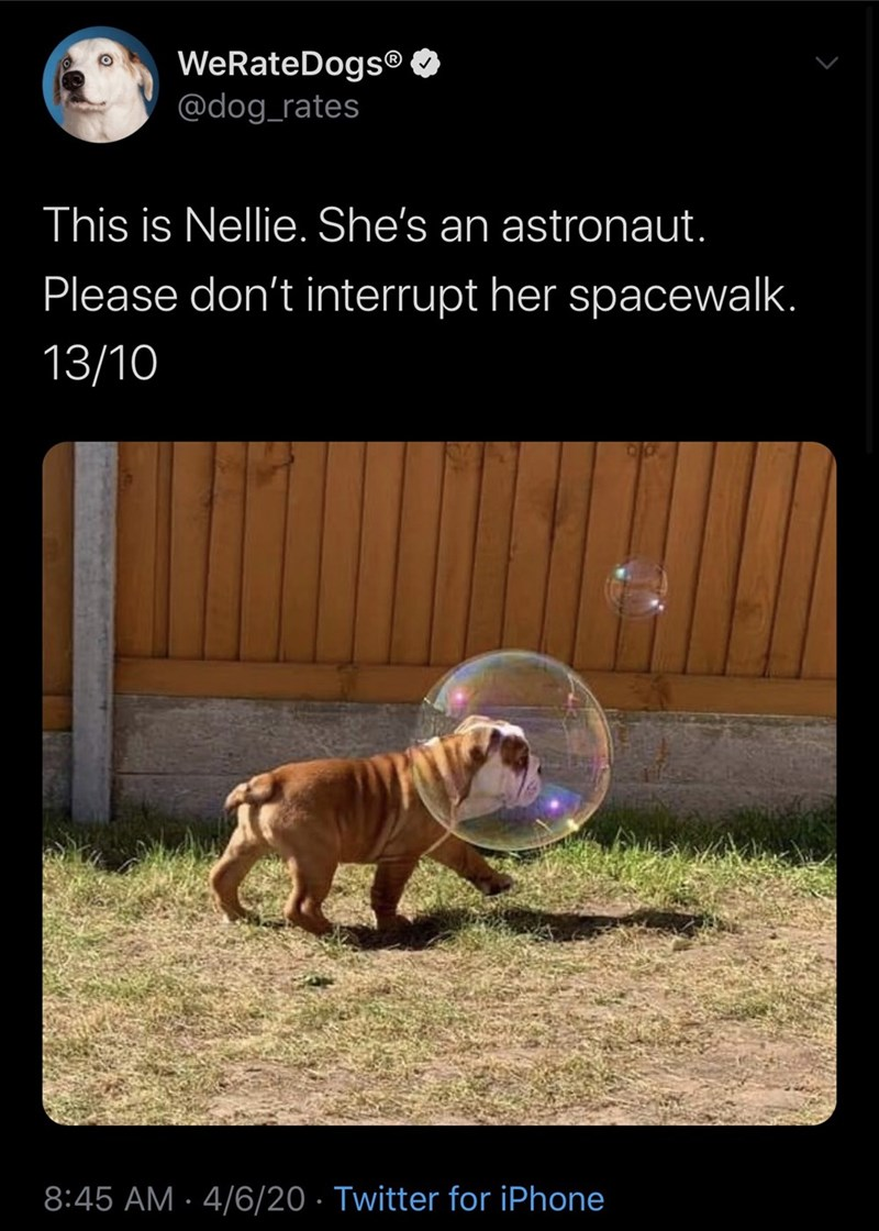 Dog - WeRateDogs® O @dog_rates This is Nellie. She's an astronaut. Please don't interrupt her spacewalk. 13/10 8:45 AM · 4/6/20 · Twitter for iPhone