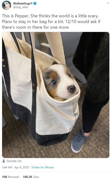 Dog - WeRateDogs® @dog_rates This is Pepper. She thinks the world is a little scary. Plans to stay in her bag for a bit. 12/10 would ask if there's room in there for one more Danielle Utz 3:44 AM - Apr 8, 2020 - Twitter for iPhone 16K Retweets 168.2K Likes