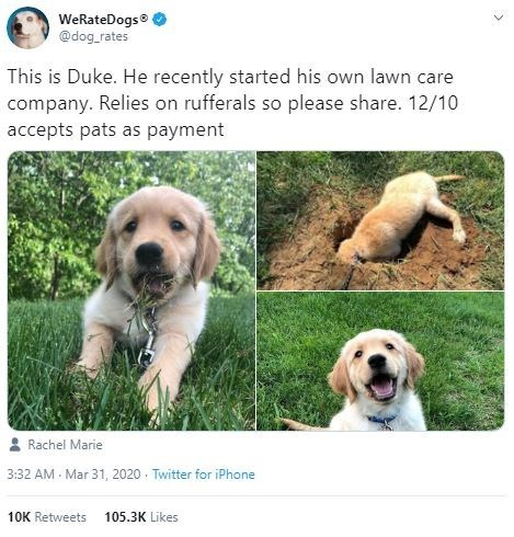 Dog - WeRateDogs® @dog_rates This is Duke. He recently started his own lawn care company. Relies on rufferals so please share. 12/10 accepts pats as payment Rachel Marie 3:32 AM Mar 31, 2020 · Twitter for iPhone 10K Retweets 105.3K Likes