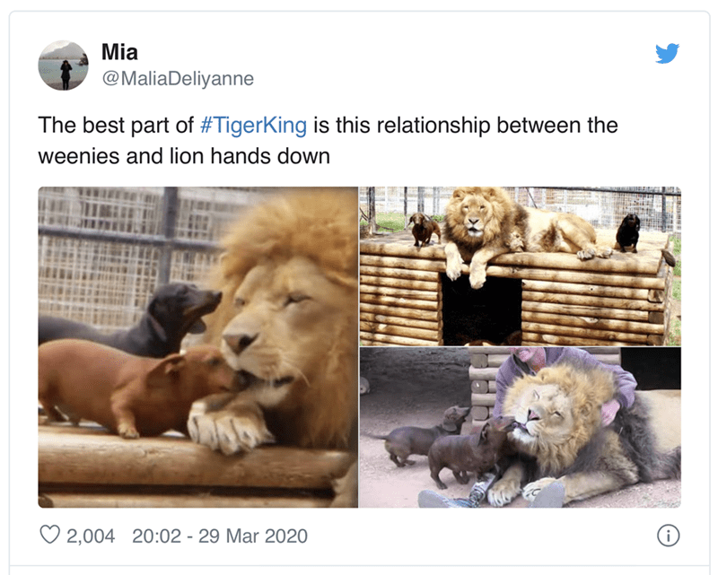 Lion - Mia @MaliaDeliyanne The best part of #TigerKing is this relationship between the weenies and lion hands down O 2,004 20:02 - 29 Mar 2020