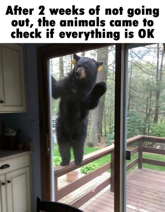 After 2 weeks of not going out, the animals came to check if everything is OK bear looking inside a window and waving
