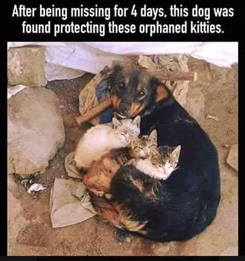 Canidae - After being missing for 4 days, this dog was found protecting these orphaned kitties.