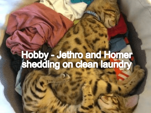 Cat - Hobby - Jethro and Homer shedding on clean laundry