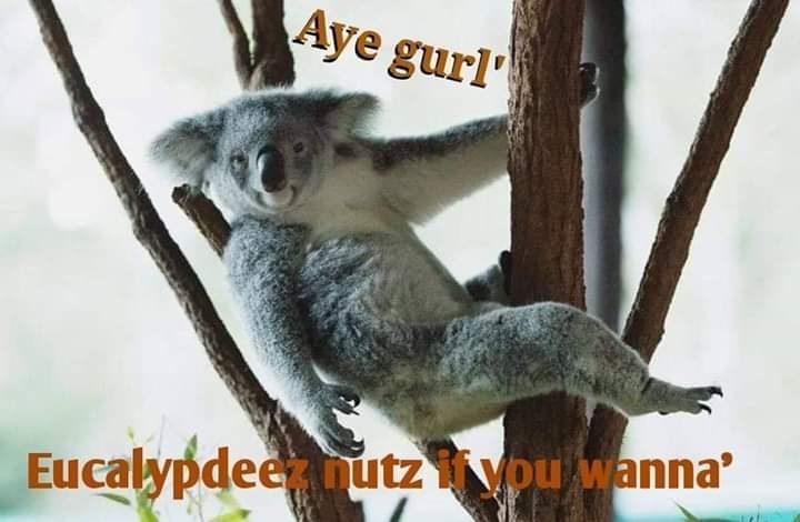 Koala - Aye gurl Eucalypdeeutzypu wanna