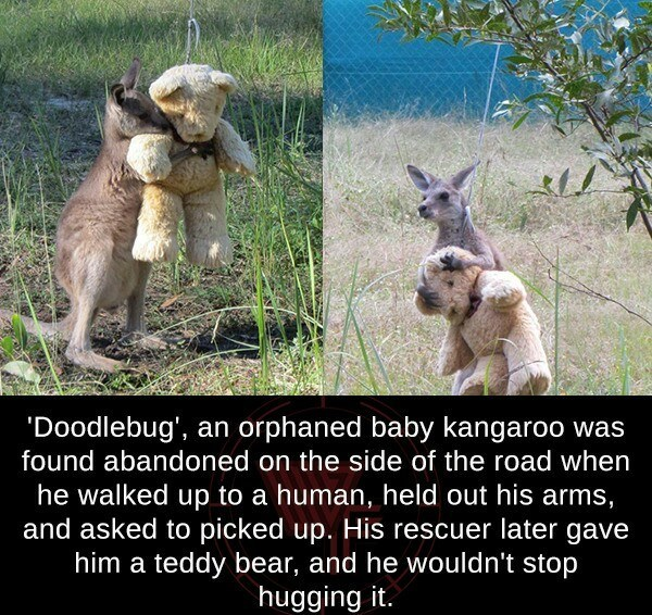 Adaptation - 'Doodlebug', an orphaned baby kangaroo was found abandoned on the side of the road when he walked up to a human, held out his arms, and asked to picked up. His rescuer later gave him a teddy bear, and he wouldn't stop hugging it.