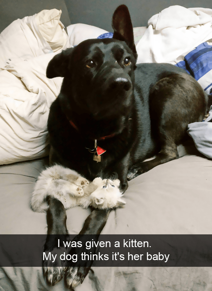 Dog - I was given a kitten. My dog thinks it's her baby