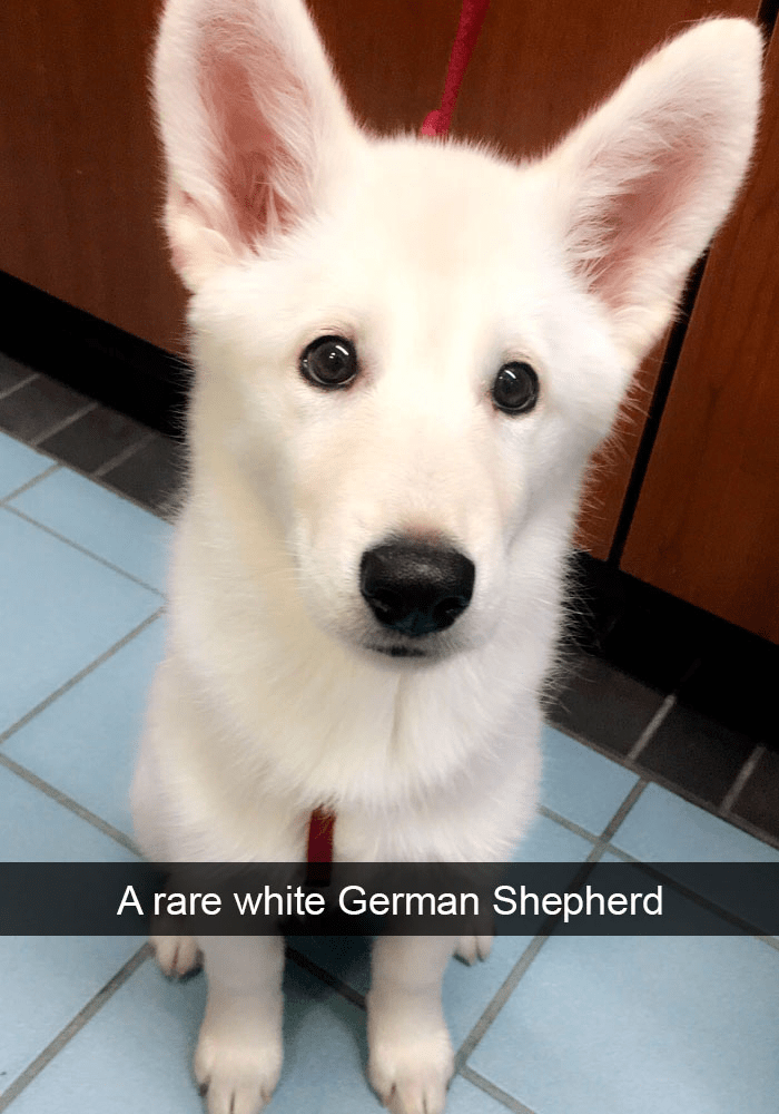 Dog - A rare white German Shepherd