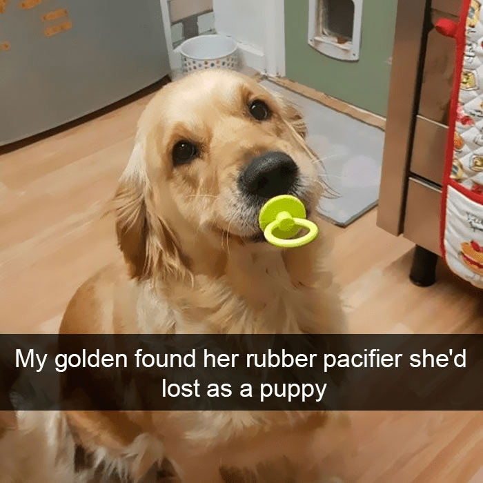 Dog - My golden found her rubber pacifier she'd lost as a puppy