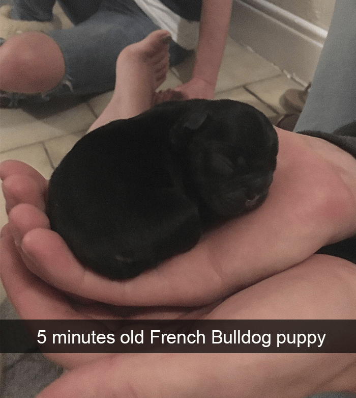 Hand - 5 minutes old French Bulldog puppy