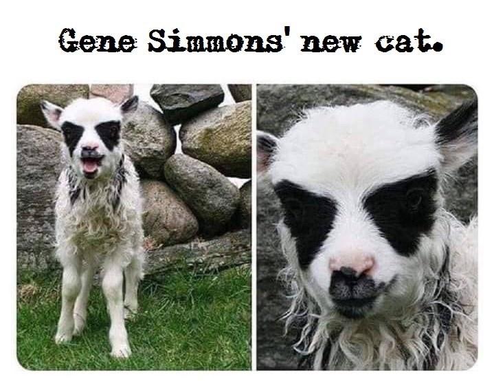 Sheep - Gene Simmons' new cat.