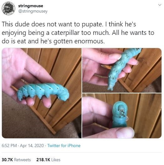 Caterpillar - stringmouse @stringmousey This dude does not want to pupate. I think he's enjoying being a caterpillar too much. All he wants to do is eat and he's gotten enormous. 6:52 PM · Apr 14, 2020 - Twitter for iPhone 30.7K Retweets 218.1K Likes