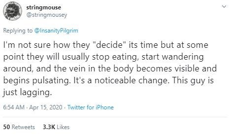 "Text - stringmouse @stringmousey Replying to @InsanityPilgrim I'm not sure how they ""decide"" its time but at some point they will usually stop eating, start wandering around, and the vein in the body becomes visible and begins pulsating. It's a noticeable change. This guy is just lagging. 6:54 AM - Apr 15, 2020 · Twitter for iPhone 50 Retweets 3.ЗK Likes"
