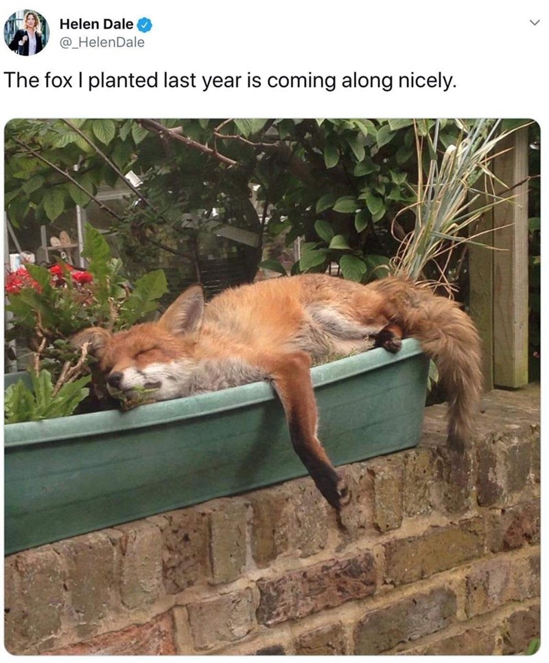 Canidae - Helen Dale @_HelenDale The fox I planted last year is coming along nicely.