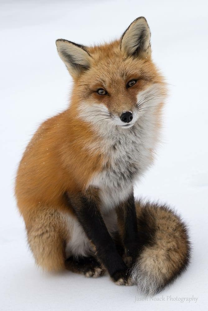 Red fox - Jason Noack Photography