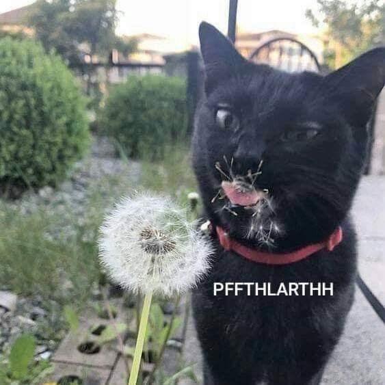 Cat - PFFTHLARTHH