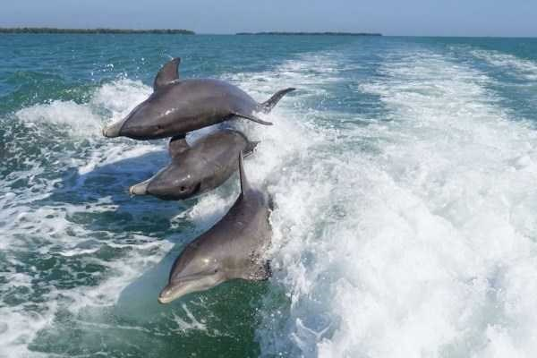 Common bottlenose dolphin