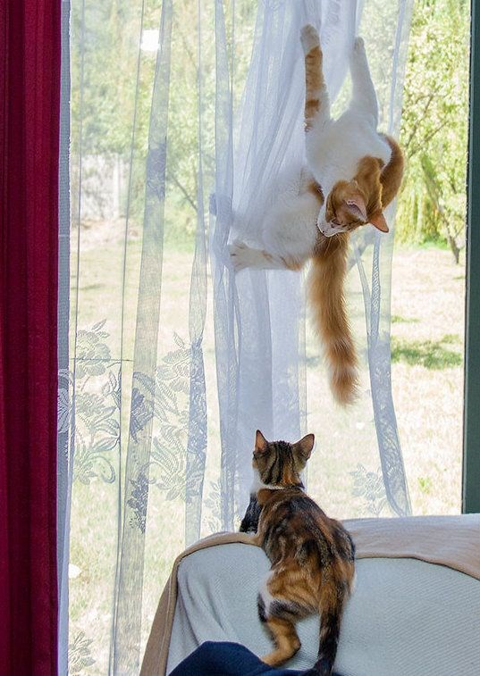 animal photos window curtains stuck funny cats Cats funny animals - 9478149