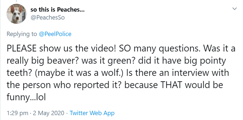 Text - so this is Peaches... @PeachesSo Replying to @PeelPolice PLEASE show us the video! SO many questions. Was it a really big beaver? was it green? did it have big pointy teeth? (maybe it was a wolf.) Is there an interview with the person who reported it? because THAT would be funny..lol 1:29 pm · 2 May 2020 · Twitter Web App