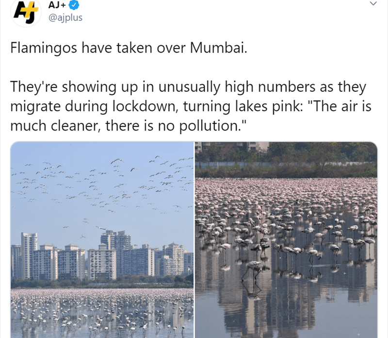 """Text - AJ+ O Aj @ajplus Flamingos have taken over Mumbai. They're showing up in unusually high numbers as they migrate during lockdown, turning lakes pink: """"The air is much cleaner, there is no pollution."""""""