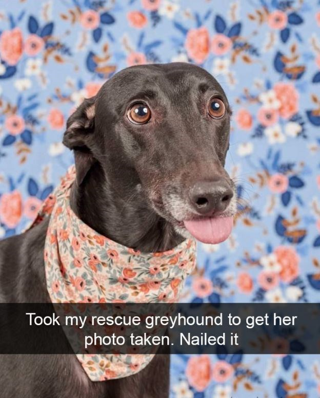 Dog - Took my rescue greyhound to get her photo taken. Nailed it