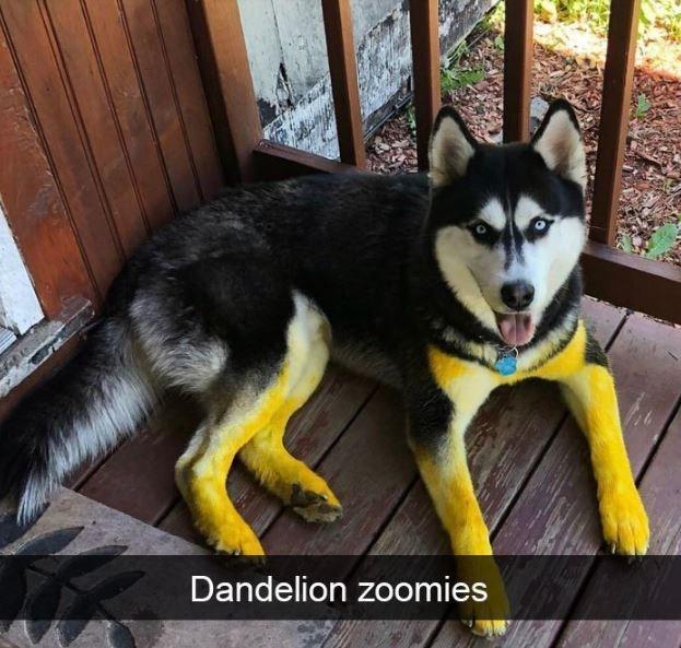Dog - Dandelion zoomies