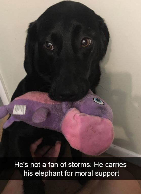 Dog breed - He's not a fan of storms. He carries his elephant for moral support