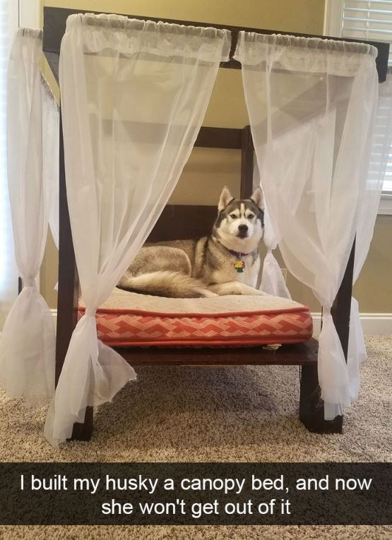 Canopy bed - I built my husky a canopy bed, and now she won't get out of it