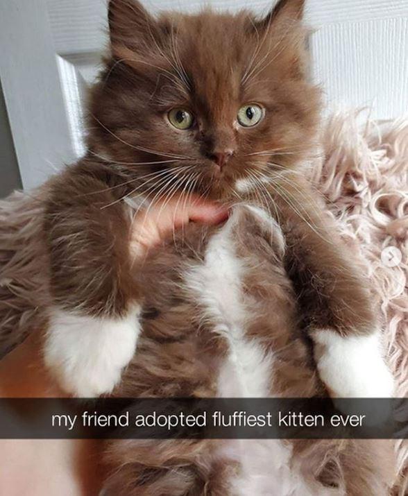 Cat - my friend adopted fluffiest kitten ever