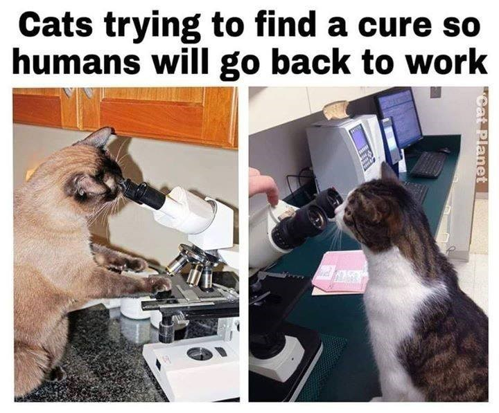 Cats trying to find a cure so humans will go back to work two pics of cats looking into microscopes in laboratories